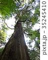 杉 ヒノキ科 大木の写真 35245410