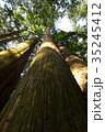 杉 ヒノキ科 大木の写真 35245412
