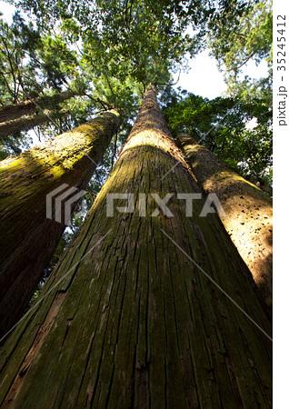 杉の木 35245412