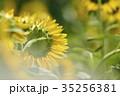 ひまわり ヒマワリ 向日葵の写真 35256381