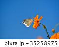 モンシロチョウ キバナコスモス 花の写真 35258975