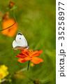 モンシロチョウ キバナコスモス 花の写真 35258977