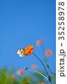モンシロチョウ キバナコスモス 花の写真 35258978