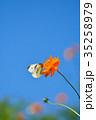 モンシロチョウ キバナコスモス 花の写真 35258979