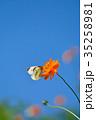 モンシロチョウ キバナコスモス 花の写真 35258981