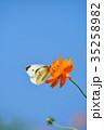 モンシロチョウ キバナコスモス 花の写真 35258982