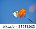 モンシロチョウ キバナコスモス 花の写真 35258983