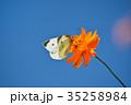 モンシロチョウ キバナコスモス 花の写真 35258984