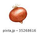 たまねぎ 水彩画 野菜のイラスト 35268616
