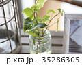 観葉植物-アイビー 35286305