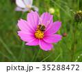 コスモス 秋桜 花の写真 35288472