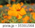 コスモス キバナコスモス 花の写真 35301568