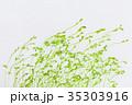 豆苗 発芽 新芽の写真 35303916