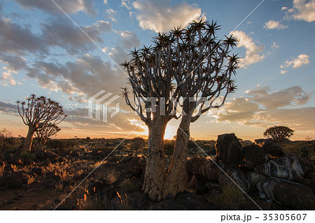 ナミビア コカブーンの森の夕方 不思議な木がある森 35305607