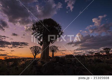 ナミビア コカブーンの森の夕方 不思議な木がある森 35305608