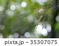 蜘蛛 虫 蜘蛛の巣の写真 35307075