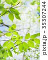新緑 若葉 葉の写真 35307244