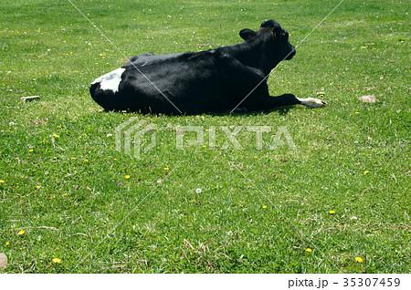 牛 後ろ姿 35307459