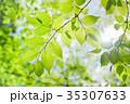 新緑 若葉 葉の写真 35307633