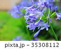 アガパンサス ムラサキクンシラン 花の写真 35308112