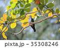 メラネシアミカドバト ハト 野鳥の写真 35308246