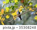 メラネシアミカドバト ハト 野鳥の写真 35308248