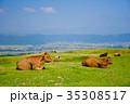 放牧牛 -阿蘇山登山中の風景- 35308517