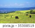 放牧牛 -阿蘇山登山中の風景- 35308519