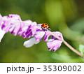 てんとう虫 昆虫 花の写真 35309002