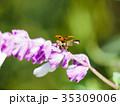 てんとう虫 昆虫 花の写真 35309006