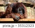 オランウータンの男子 35312323