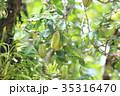 スターフルーツ ゴレンシ 五歛子の写真 35316470