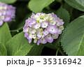 紫陽花 花 植物の写真 35316942