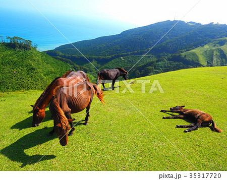 岬の野生馬 35317720