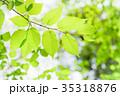 新緑 若葉 葉の写真 35318876