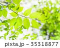 新緑 若葉 葉の写真 35318877