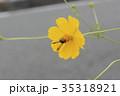 キバナコスモス 花 コスモスの写真 35318921