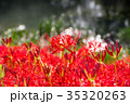 彼岸花 秋 花の写真 35320263