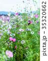 秋桜 コスモス 花の写真 35320662