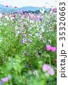 秋桜 コスモス 花の写真 35320663