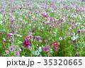 秋桜 コスモス 花の写真 35320665
