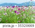 秋桜 コスモス 花の写真 35320669