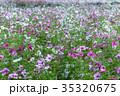 秋桜 コスモス 花の写真 35320675