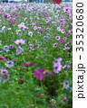 秋桜 コスモス 花の写真 35320680