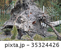 Uprooted tree as result of climate warming 35324426
