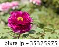 植物 花 牡丹の写真 35325975