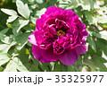 植物 花 牡丹の写真 35325977