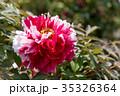 植物 花 牡丹の写真 35326364