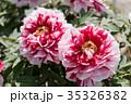 植物 花 牡丹の写真 35326382