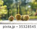 プラタナス スズカケノキ 集合果の写真 35328545